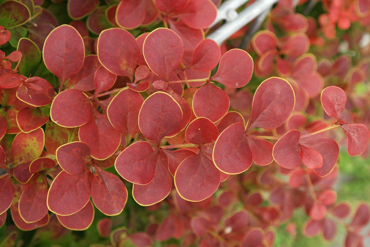 Berberis thunbergii atropurpurea Golden Ring