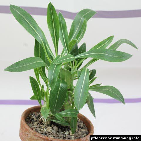 Pachypodium horombense