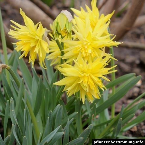 Narcissus Rip van Winkle