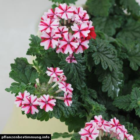 Glandularia × hybrida