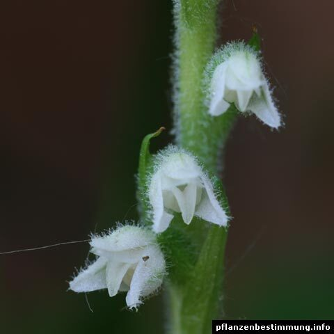 Goodyera repens