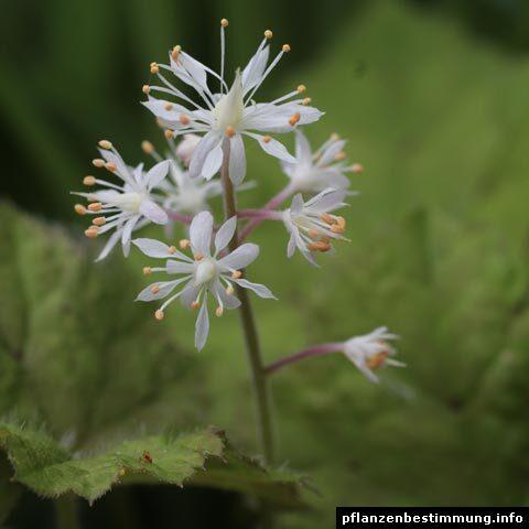 Tiarella cordifolia