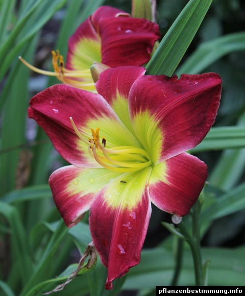 Hemerocallis Christmas Is