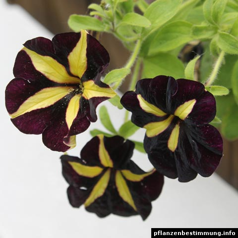 Petunia Mystical Phantom