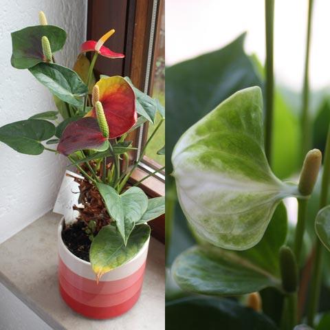 Anthurium-Hybride