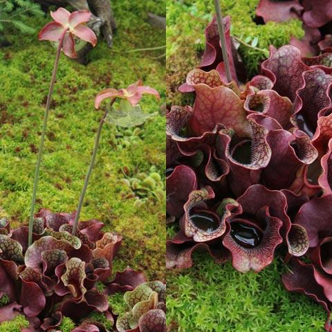 Sarracenia purpurea ssp. venosa