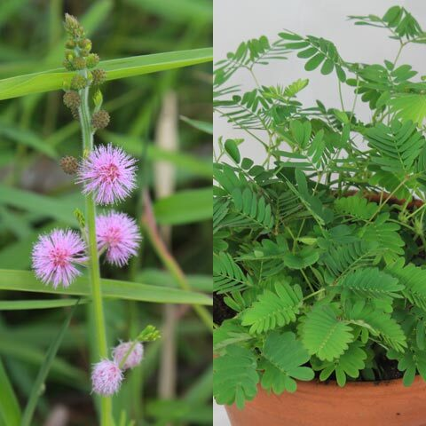 Mimosa pudica