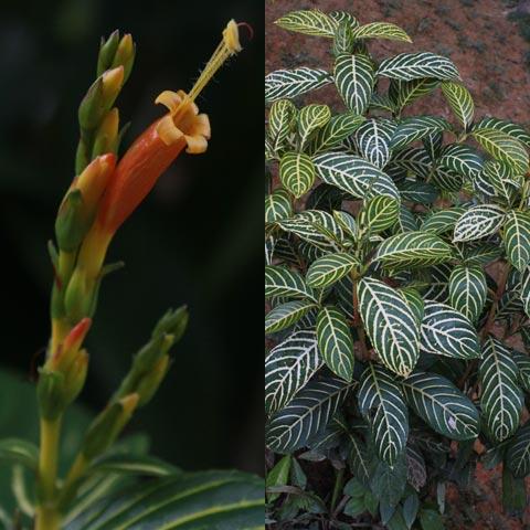 Sanchezia speciosa