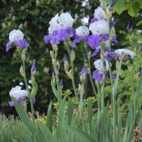 Iris × barbata