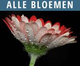 Alle-Bloemen