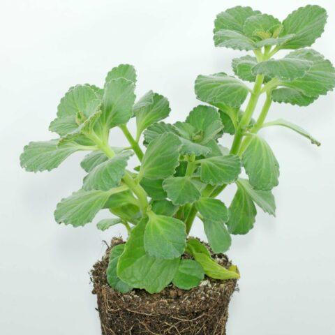 kattenschrik plant
