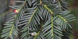 Coniferen Bladeren