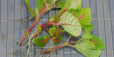 Kamerplanten stekken