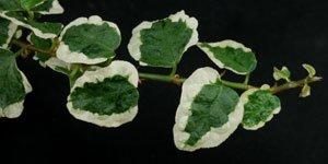 Klimplanten