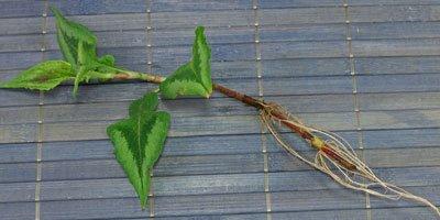 Vaste planten stekken
